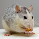 Muizen en ratten kruiden en snacks