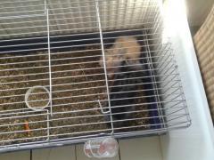 Boeddha zwart kruising teddy/vosje Bailey blonde zelfde kruising (broers)